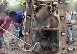 Phajaan Elephant cruelty